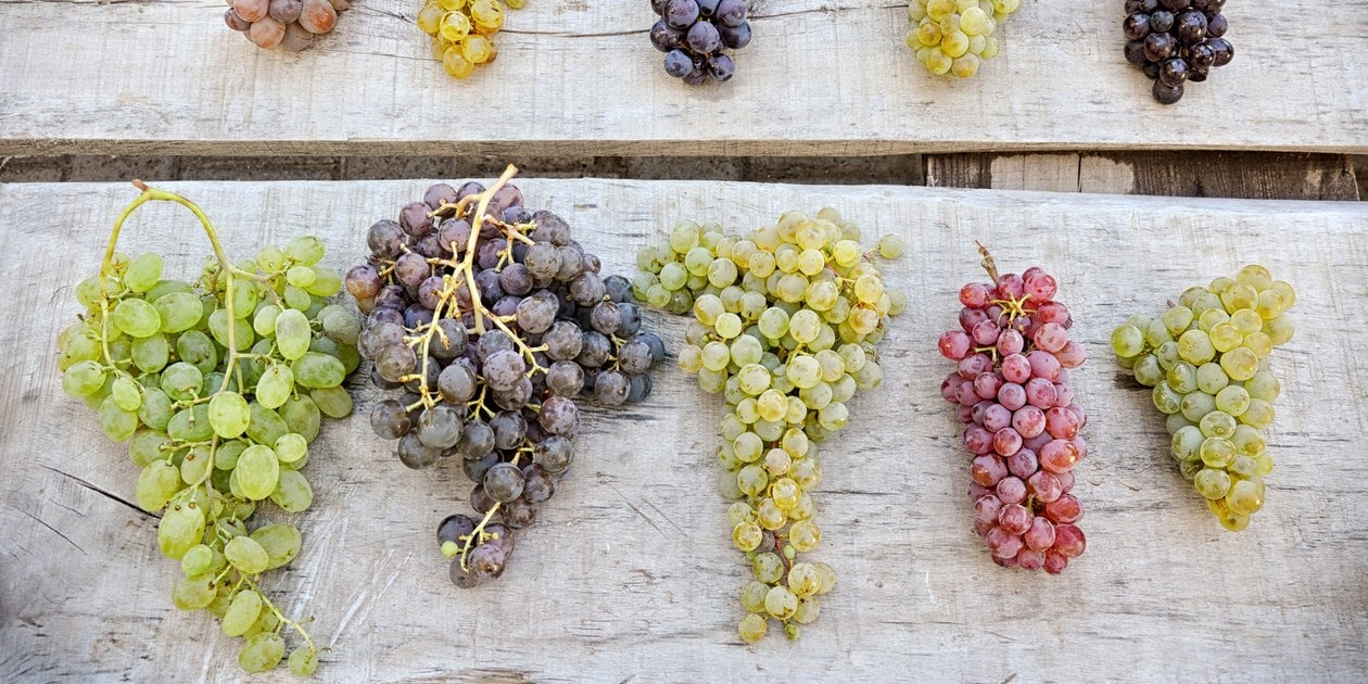 New grape varieties vital for boosting wine production