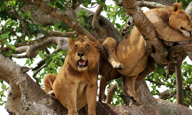 DID YOU KNOW? Tree-climbing lion.