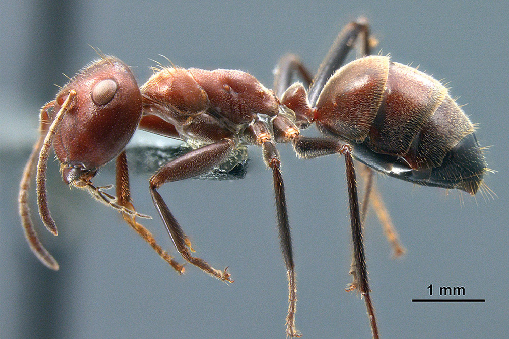 DID YOU KNOW? Meet the 'exploding ant,' which sacrifices itself for its colony